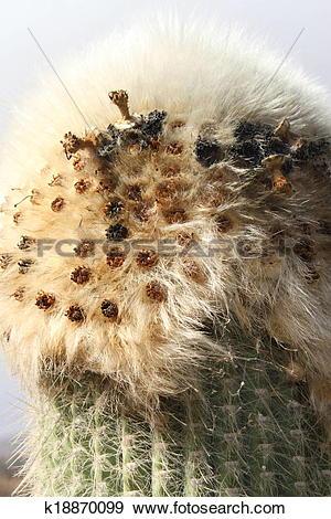 Stock Photograph of Cephalocereus senelis cactus k18870099.