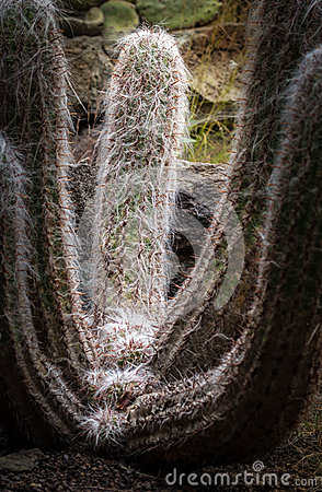 Cephalocereus Senilis Cactus (Old Man Cactus) Stock Photo.
