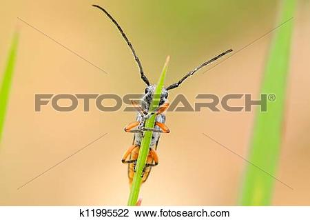 Clip Art of coleoptera cerambycidae insects k11995522.