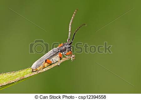 Stock Illustrations of coleoptera cerambycidae insects.