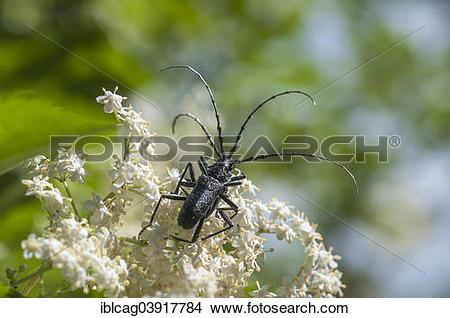 "Stock Photo of ""Capricorn Beetle (Cerambyx scopolii) on Black."