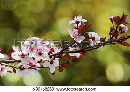 Stock Photograph of Pink plum blossoms of purple.