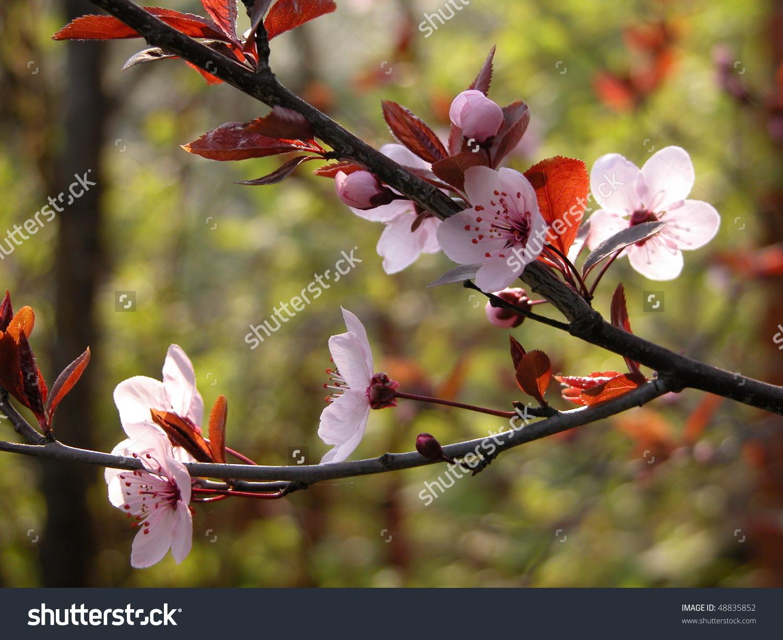 Cherry Plum Or Myrobalan. Branch Of A Purple Leaf Plum (Prunus.