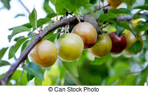 Stock Photos of Mature yellow cherry plum (Prunus cerasifera.