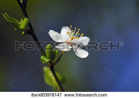 "Picture of ""Blossom of the cherry plum (Prunus cerasifera), North."