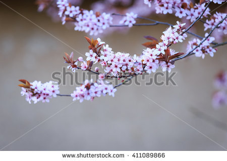 Cerasifera Stock Photos, Royalty.