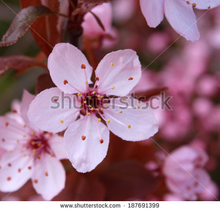Prunus Cerasifera Stock Photos, Royalty.