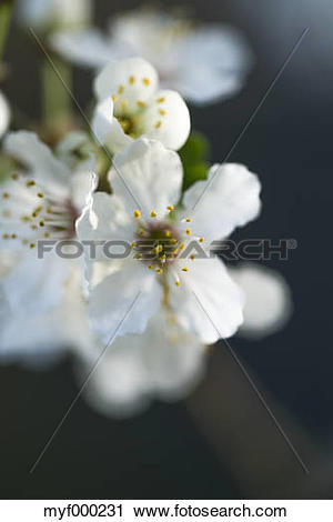 Stock Photography of Twig with blossoms of cherry.