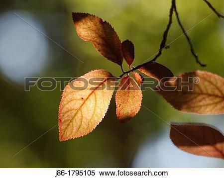 Stock Image of Yellow leaves in garden tree Cherry plum Prunus.