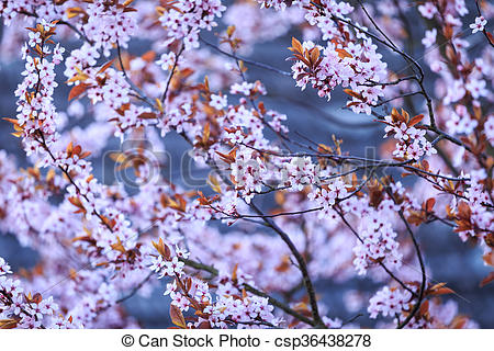 Picture of Blossoming branch with with flowers of Prunus.