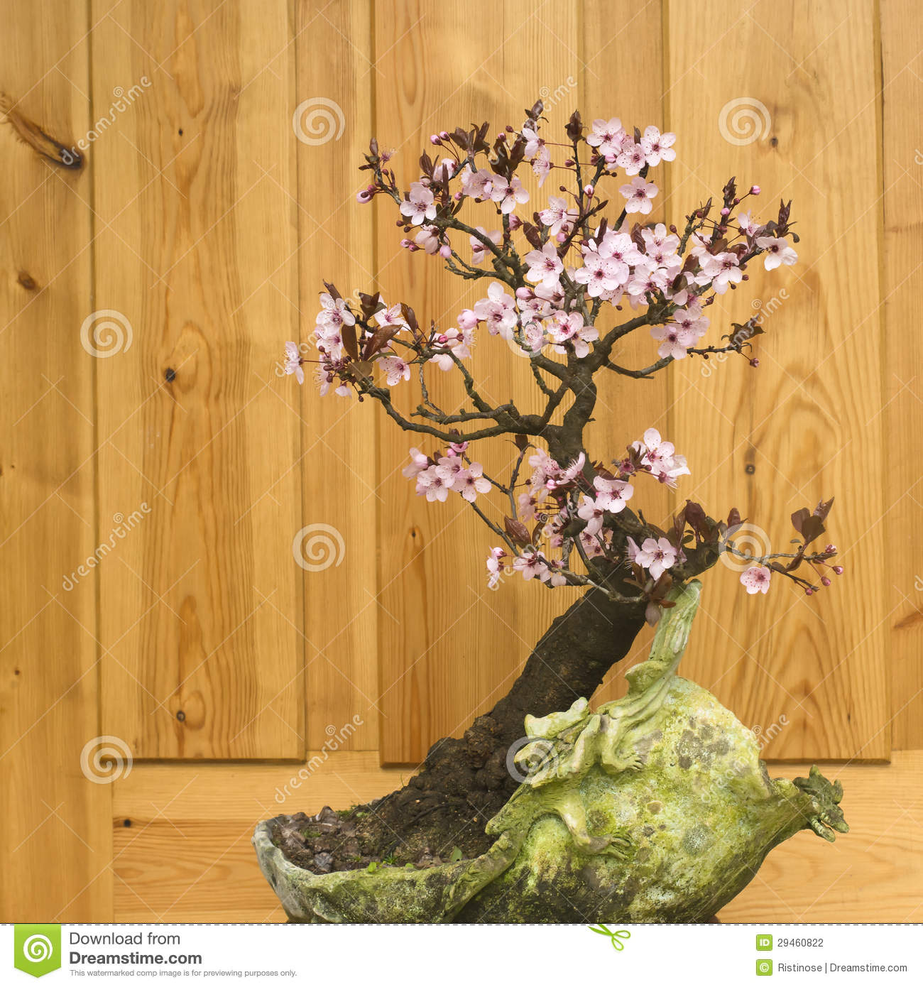 Japanese Plum Blossom Bonsai (Prunus Cerasifera) Stock Photography.