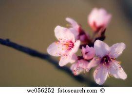 Prunus cerasifera Stock Photos and Images. 182 prunus cerasifera.