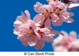 Stock Images of Cherry Plum or Myrobalan Plum (Prunus cerasifera.
