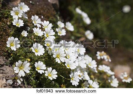 Stock Photo of Austria, Alpine mouse ear (Cerastium alpinum.