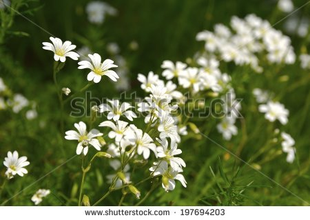 Field Chickweed Stock Photos, Images, & Pictures.