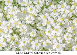 Cerastium Stock Photo Images. 116 cerastium royalty free images.