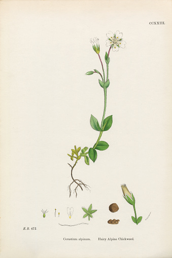 Chickweed Clip Art, Vector Images & Illustrations.
