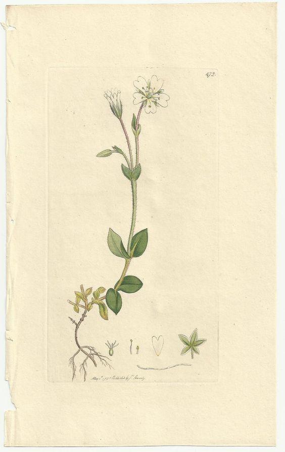 Antique James Sowerby Botanical Print Plate 1798 English Botany.