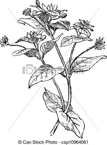 Clip Art Vector of Chickweed or Cerastium sp., vintage engraving.