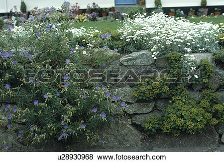 Pictures of Blue geranium and white cerastium on stone wall.