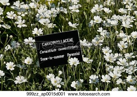 Stock Photography of Close up of a garden bed of Cerastium.