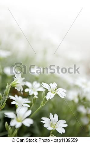 Stock Photographs of Floral background of cerastium snow.