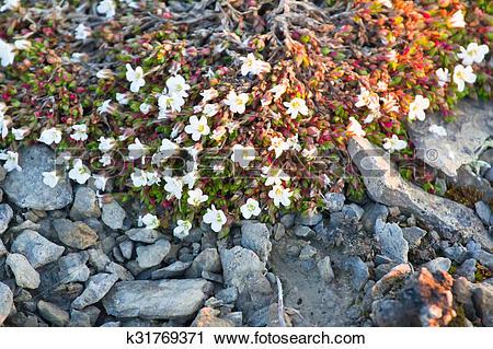 Stock Photography of Modest polar desert vegetation: curtin Mouse.