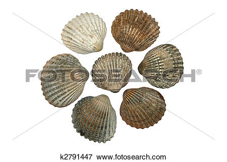 Picture of Common Cockle Shells ( Cerastoderma Edule) k2791447.