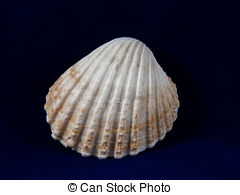 Picture of Common Cockle Shells ( Cerastoderma Edule).
