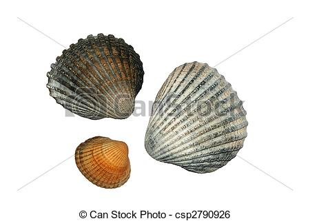 Stock Image of Common Cockle Shells ( Cerastoderma Edule).