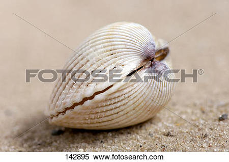 Stock Image of common cockle / Cerastoderma edule 142895.