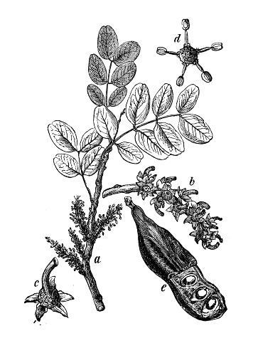 Carob Tree Clip Art, Vector Images & Illustrations.