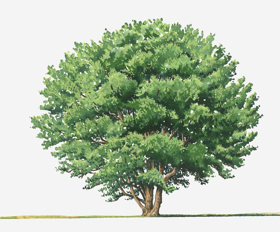 Illustration Of Ceratonia Siliqua (carob) Evergreen Tree Digital.