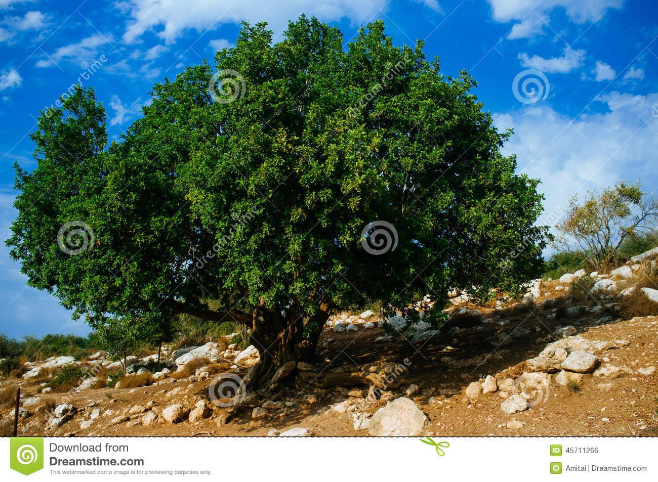 Carob Tree, Ceratonia Stock Photo.