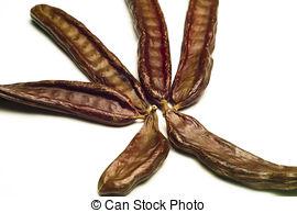 Picture of The Carob (Ceratonia siliqua).