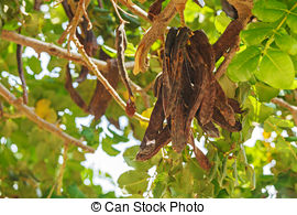 Stock Image of Carob (Ceratonia siliqua) with leaf csp11750460.