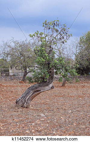 Stock Photo of carob tree Ceratonia siliqua outside in summer.