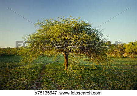 Picture of Uruguay, Colonia, Carob tree in countryside (Ceratonia.
