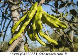 Locust bean Images and Stock Photos. 85 locust bean photography.