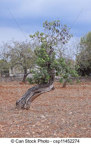Picture of carob tree Ceratonia siliqua outside in summer.