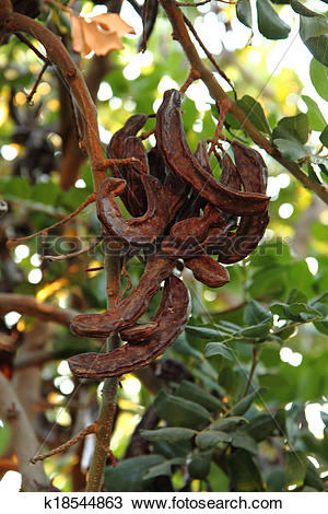 Stock Photo of carob plant (ceratonia siliqua) k18544863.