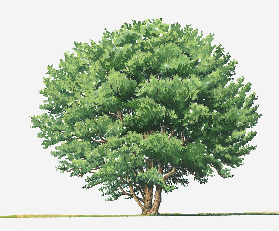 Illustration Of Ceratonia Siliqua (carob) Evergreen Tree Digital.