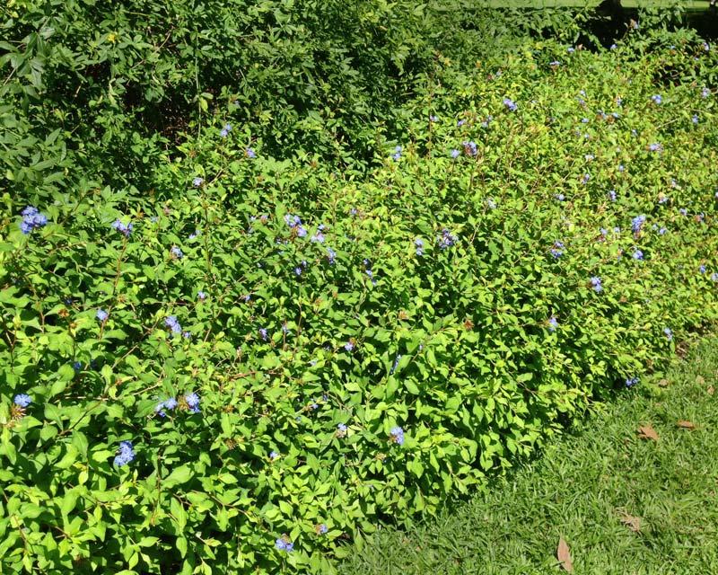 GardensOnline: Ceratostigma willmottianum.
