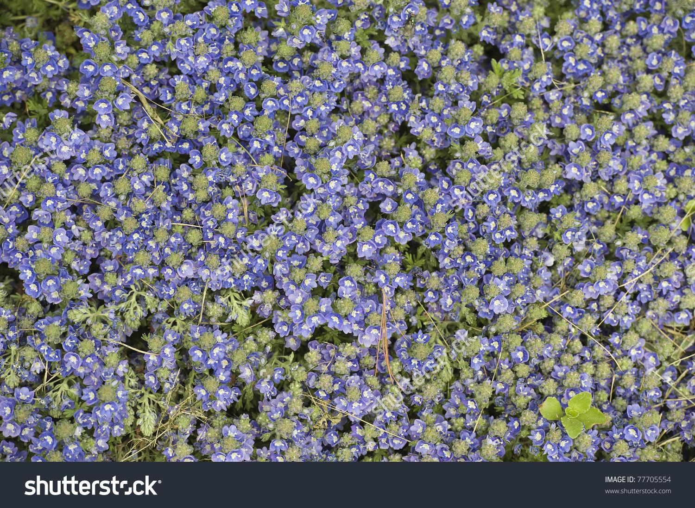Carpet Of Ceratostigma Willmottianum.