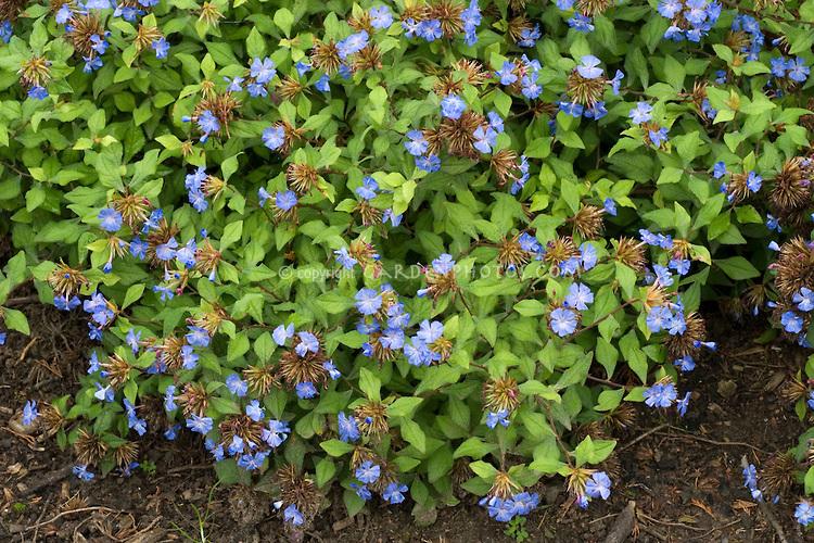 Ceratostigma willmottianum 'Forest Blue' in bloom.