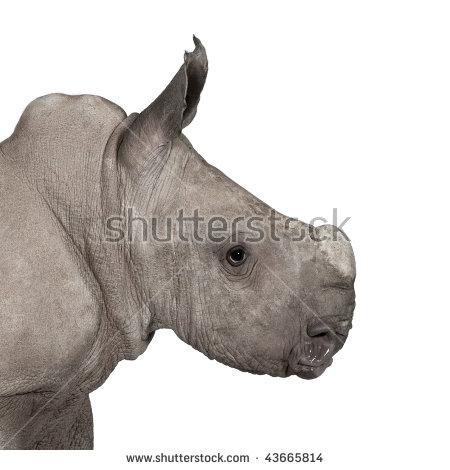 Ceratotherium White Old Rhino Simum Stock Photos, Images.