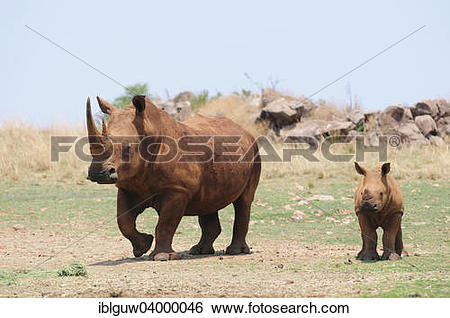 """Stock Images of """"White Rhinoceros (Ceratotherium simum), female."""