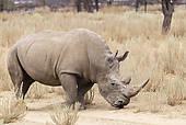 """Pictures of """"White Rhinoceros (Ceratotherium simum), Rhino and."""