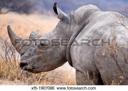 Stock Images of White Rhinoceros, Ceratotherium simum, Square.