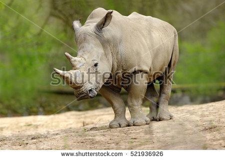 Rhinoceros Horn Banco de Imagens, Fotos e Vetores livres de.